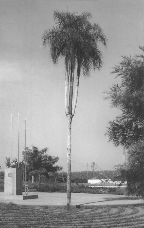 Palmeira do TRI na Pça Alm. Tamandaré.